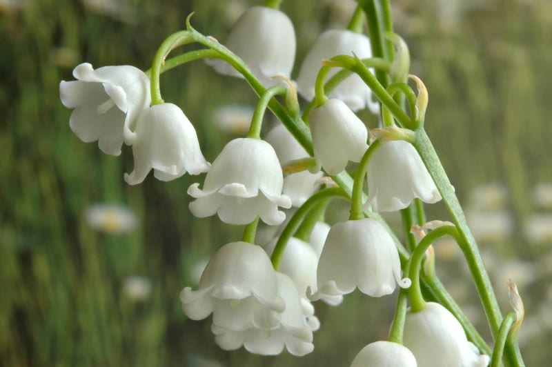 "How to Get Rid of ""Lily of the Valley"""
