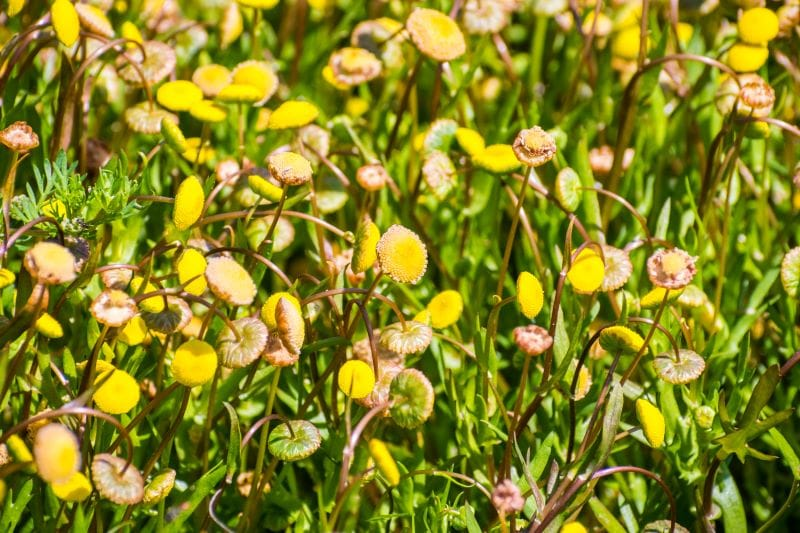 How to kill Virginia buttonweed and have a healthy lawn