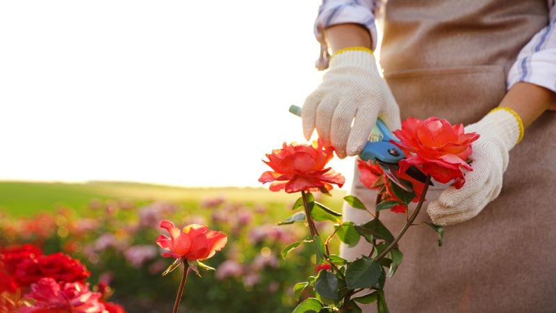 How to Kill Rose Bush and Have Beautiful Garden