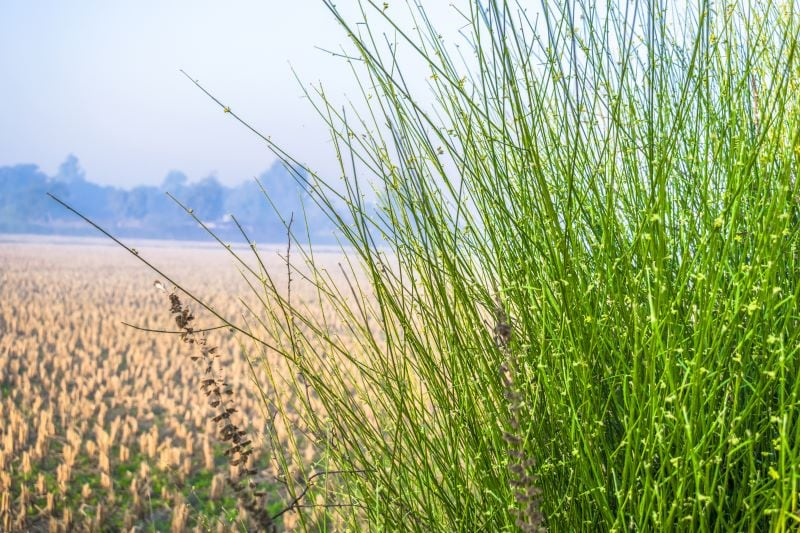 How to Kill Johnson Grass and Keep Your Plants Safe