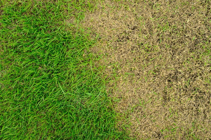 Brown Patch vs Dollar Spot