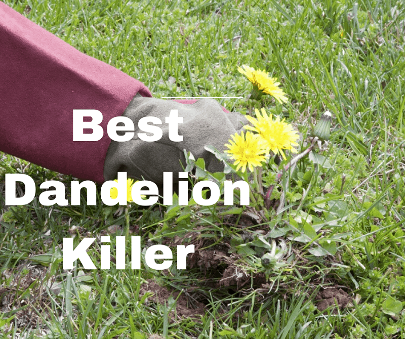 Best Dandelion Killer